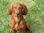 Redbone Coonhound dog face