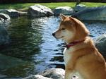 Relaxing Shiba Inu dog