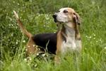 Resting Anglo-Francais de Petite Venerie dog