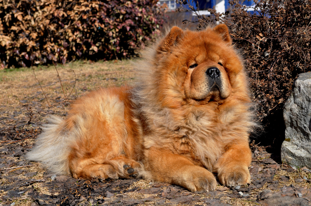 Resting Chow Chow wallpaper