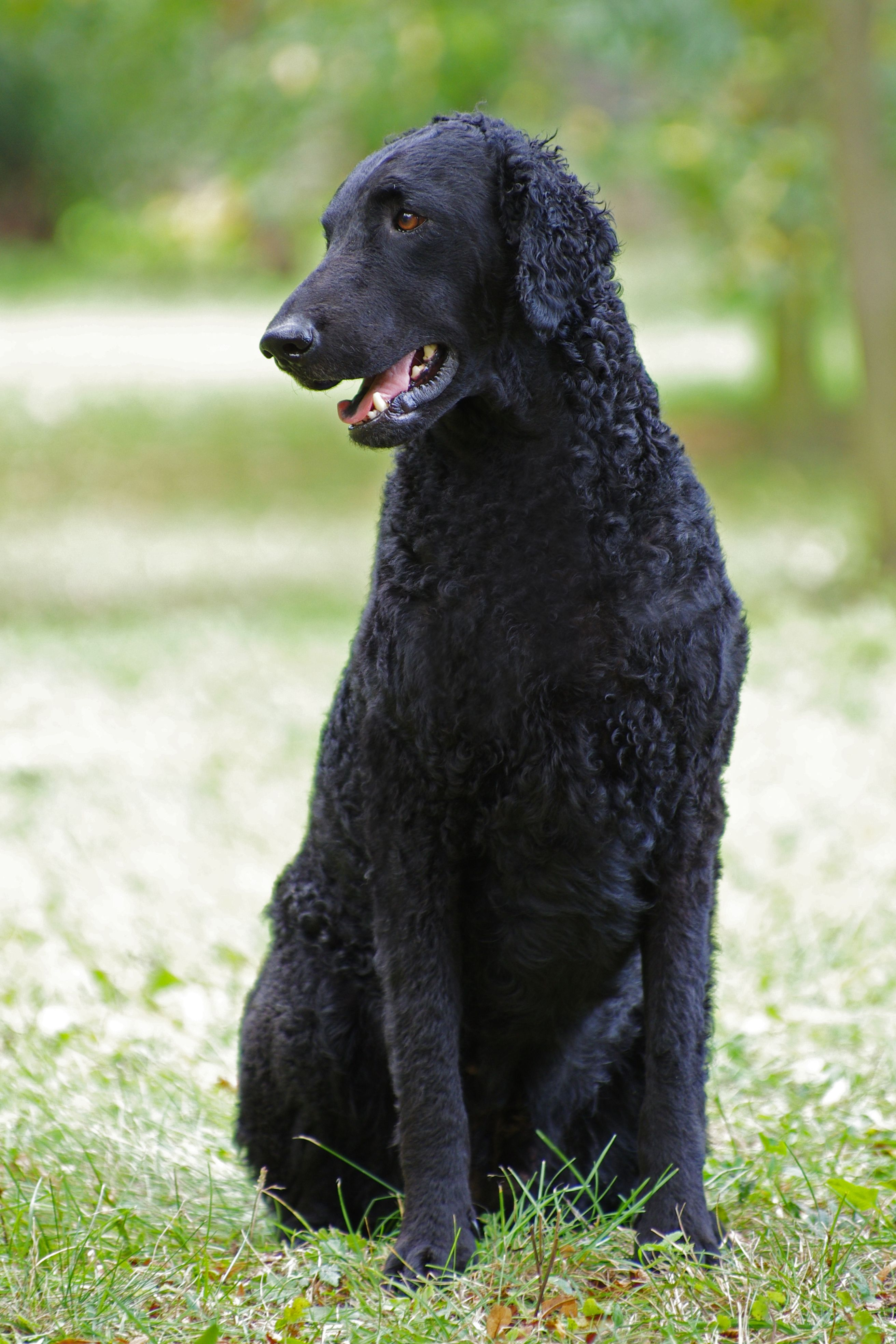 Resting Curly Coated Retriever dog wallpaper