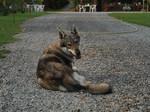 Resting Czechoslovak Wolfdog