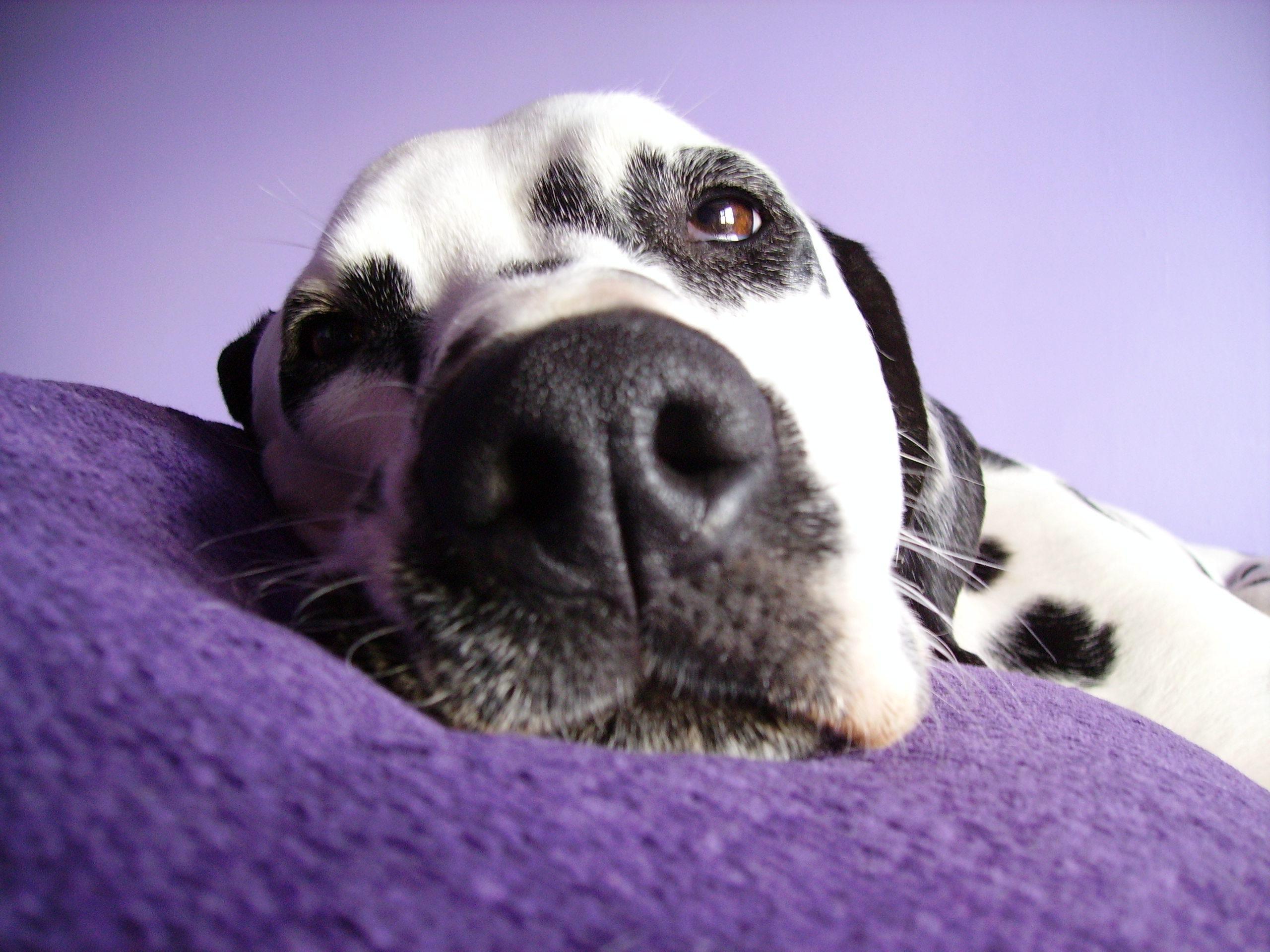 Resting Dalmatian dog  wallpaper