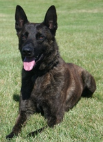 Resting Dutch Shepherd Dog