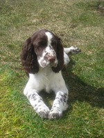 Resting English Springer Spaniel dog