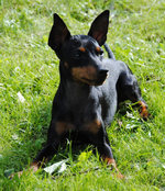 Resting English Toy Terrier(Black Tan) dog
