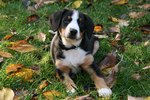 Resting Entlebucher Mountain Dog