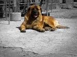 Resting Estrela Mountain dog