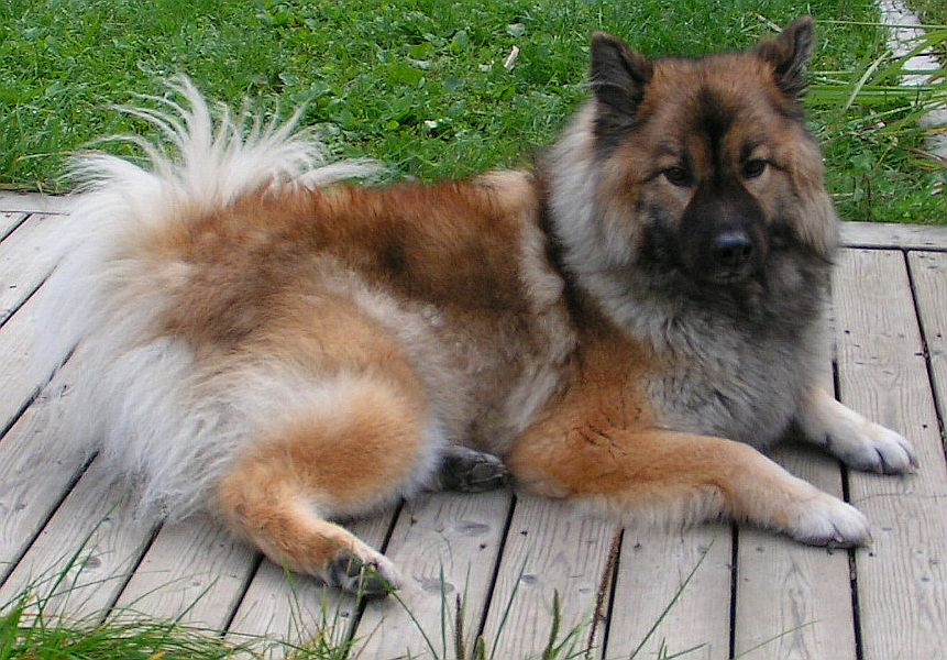 Resting Eurasier dog wallpaper