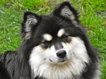 Resting Finnish Lapphund dog