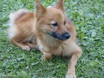 Resting Finnish Spitz dog
