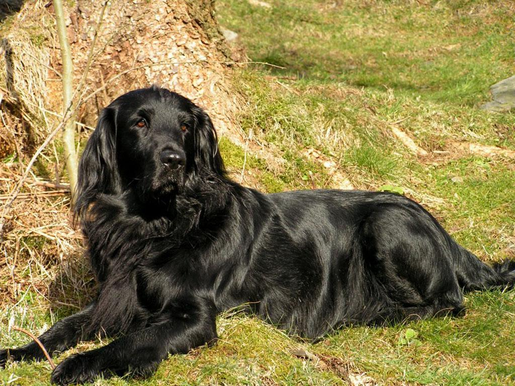 Resting Flat-Coated Retriever dog  wallpaper