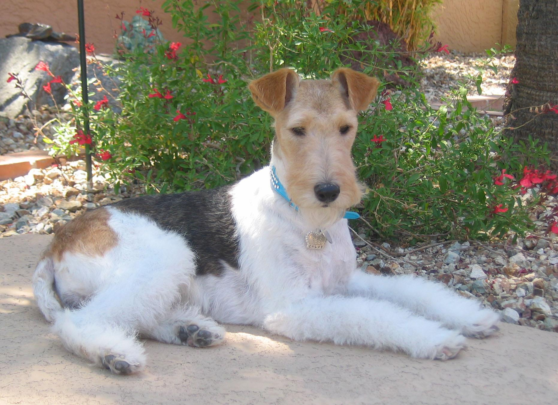 Excellent Wire Fox Terrier Rescue Texas Ideas - Electrical Circuit ...