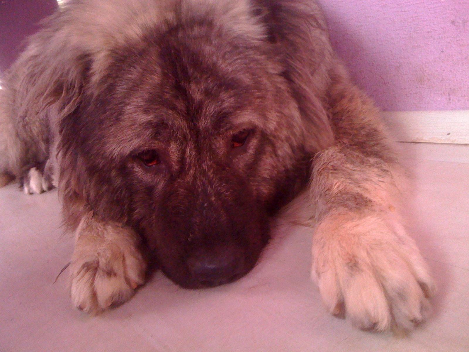 Грузинская горная собака отдыхает фото