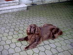 Resting German Longhaired Pointer dog