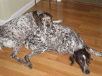 Resting German Shorthaired Pointer dogs