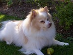 Resting German Spitz dog