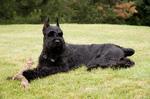 Resting Giant Schnauzer dog