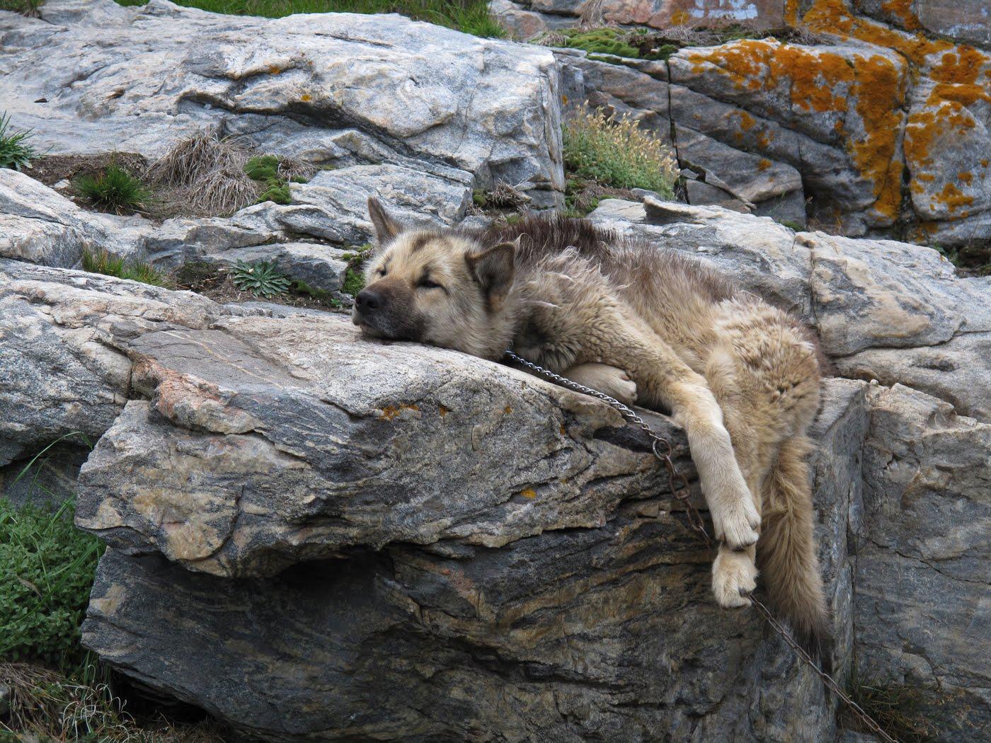 Гренландская собака на отдыхе фото