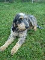 Resting Griffon Bleu de Gascogne dog