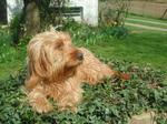 Resting Griffon Fauve de Bretagne dog