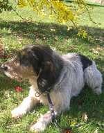 Resting Griffon Nivernais dog