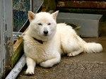Resting Hokkaido dog