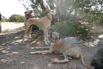 Resting Hortaya Borzaya dogs