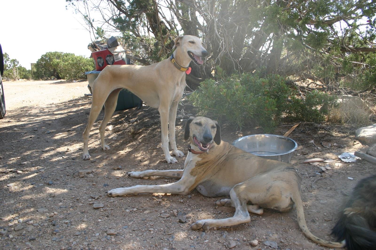 Resting Hortaya Borzaya dogs wallpaper