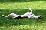 Resting Ibizan Hound dog