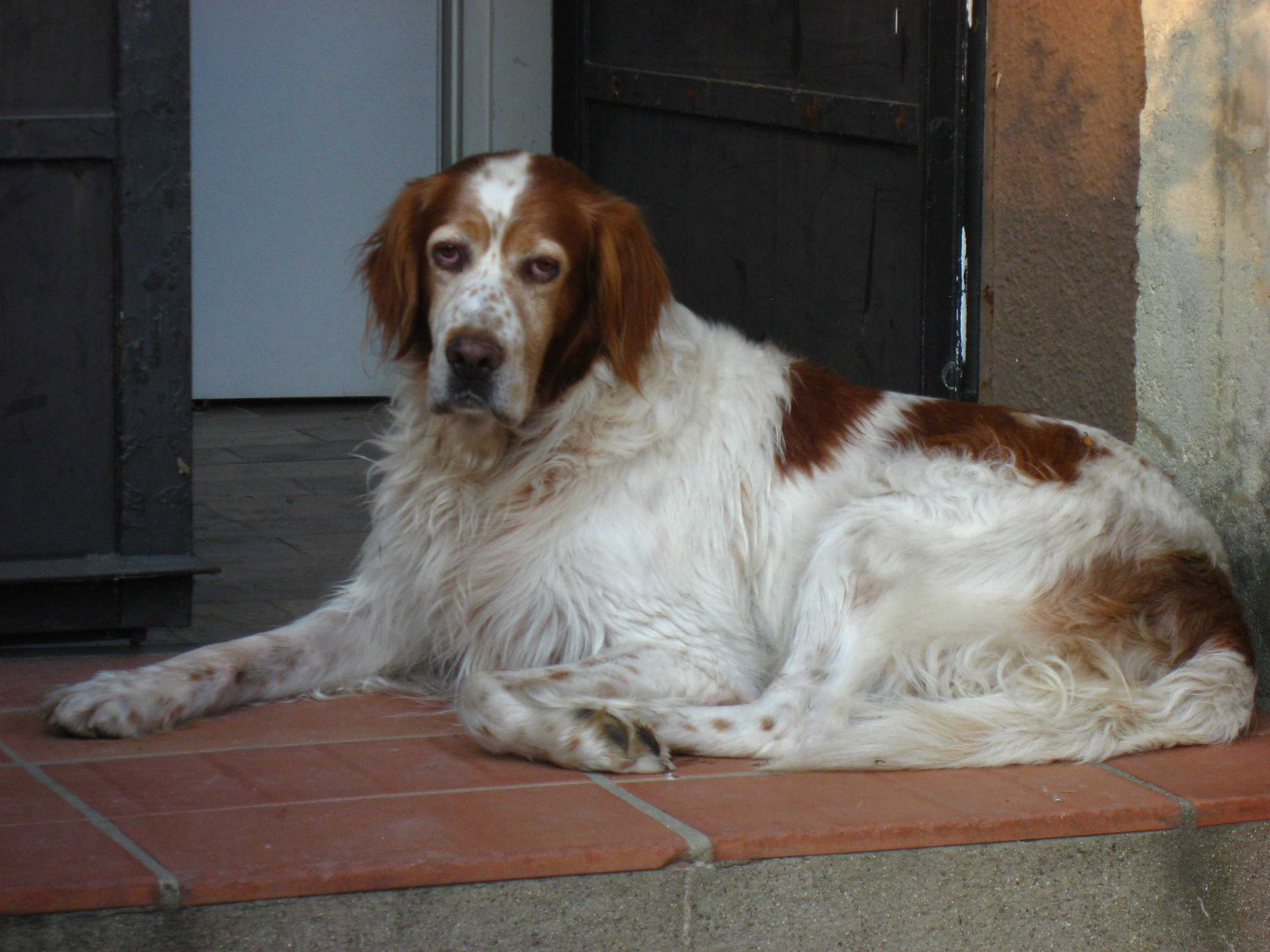Resting Irish Red and White Setter dog wallpaper