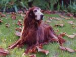 Resting Irish Setter dog