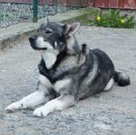 Resting Jämthund dog