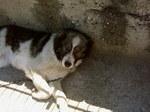 Болгарская овчарка отдыхает