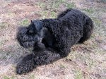 Resting Kerry Blue Terrier