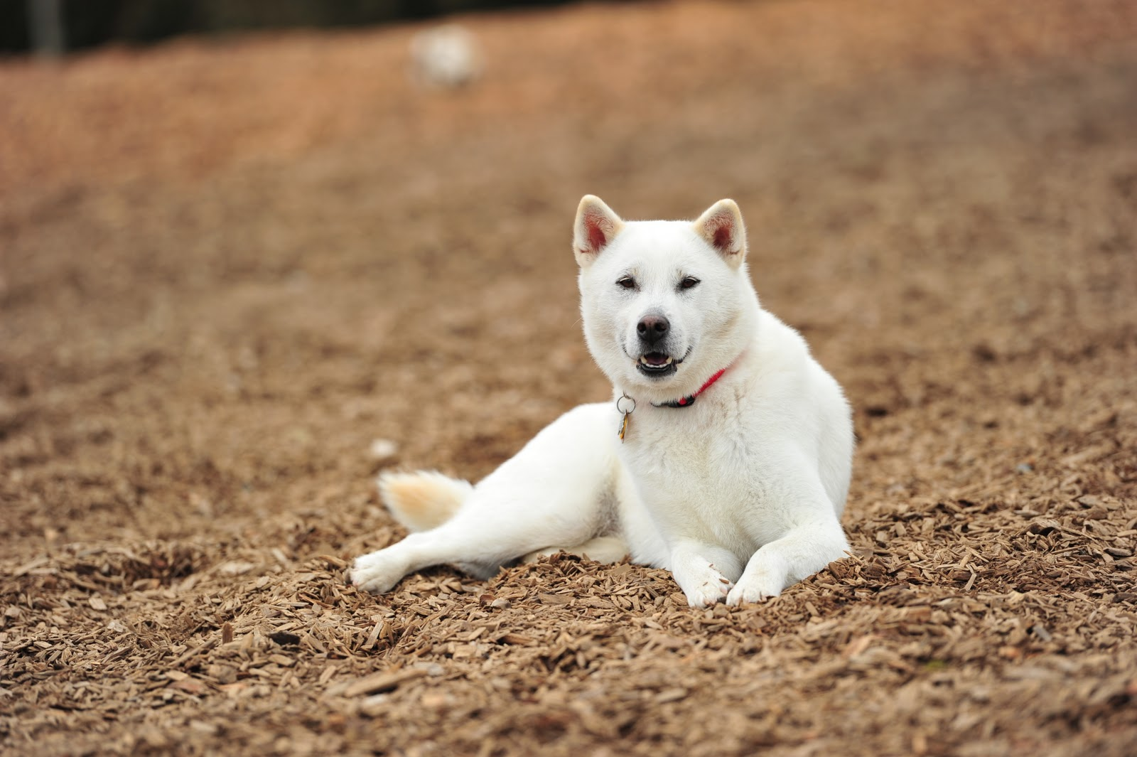 Resting Kishu dog wallpaper