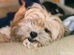 Resting Lhasa Apso dog