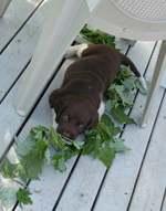 Resting Münsterländer, Small puppy