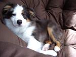 Resting Miniature Australian Shepherd dog