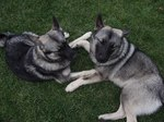 Resting Norwegian Elkhound dogs