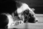 Resting Old Time Farm Shepherd dog