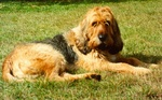 Resting Otterhound dog