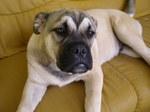 Resting Perro de Presa Mallorquin