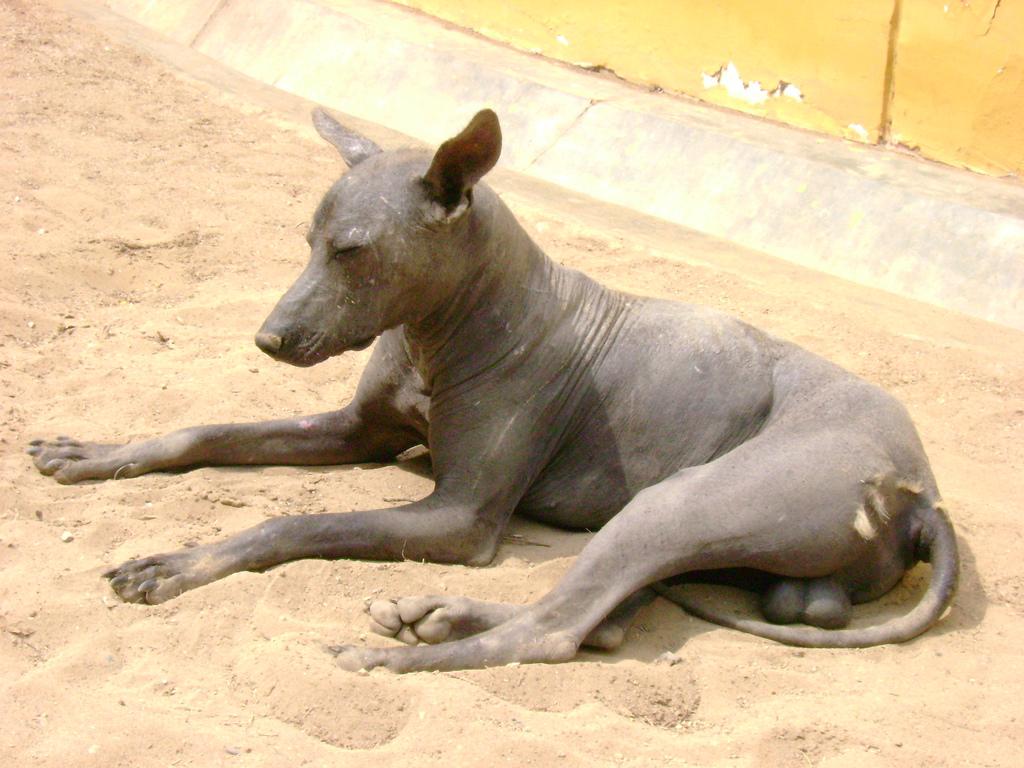 Перуанская голая собака отдыхает фото