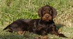 Resting Pudelpointer dog