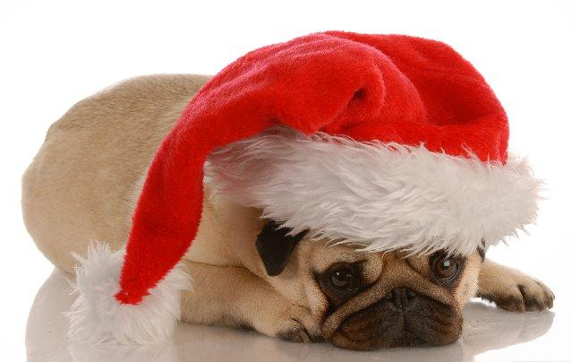 Resting Pug dog фото