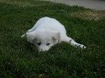 Resting Pungsan Dog