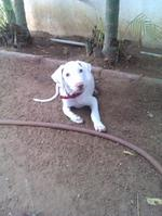 Resting Rajapalayam dog