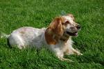 Resting Russian Spaniel dog