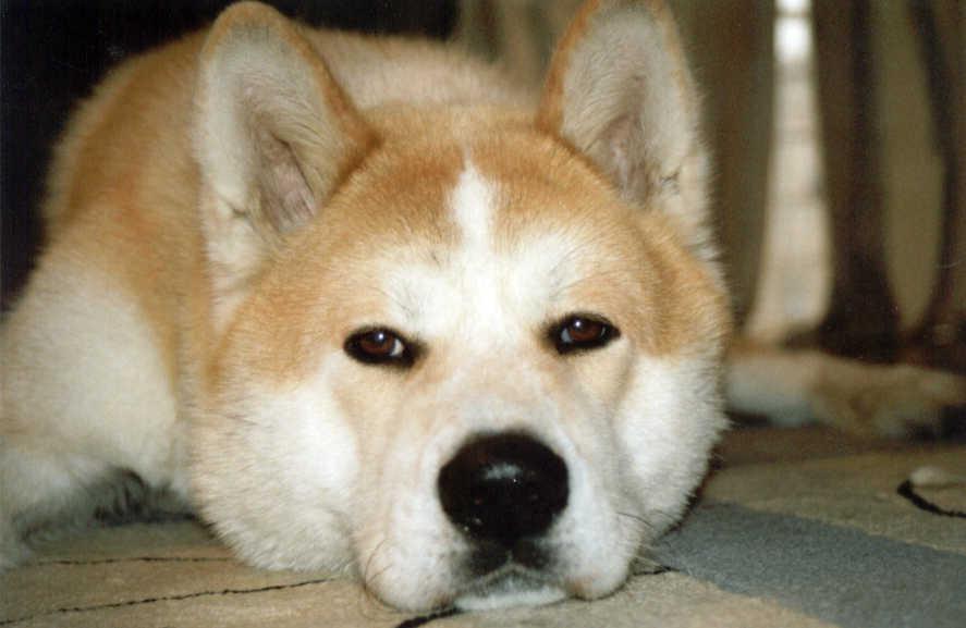 Resting Sakhalin Husky dog wallpaper